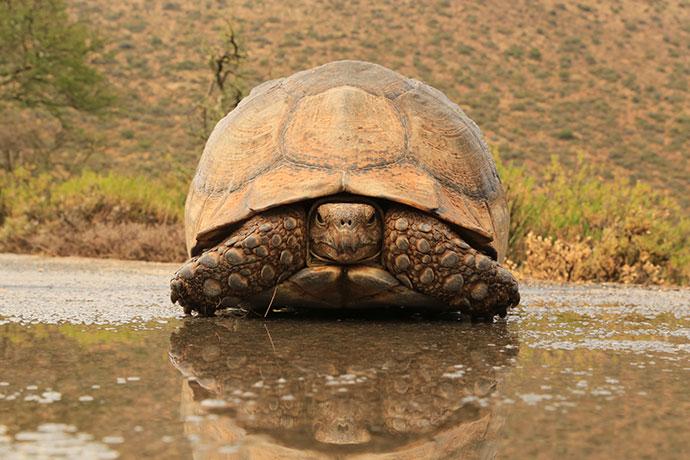 Camdeboo-National-Park-Leopard-tortoise